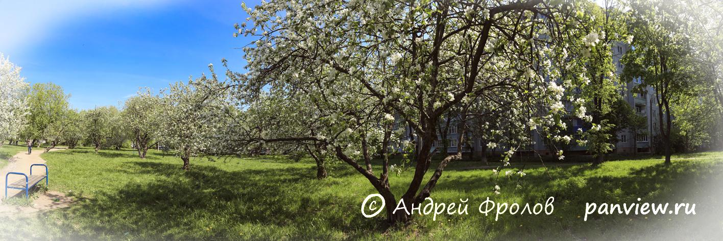 Яблоневый сад в Твери